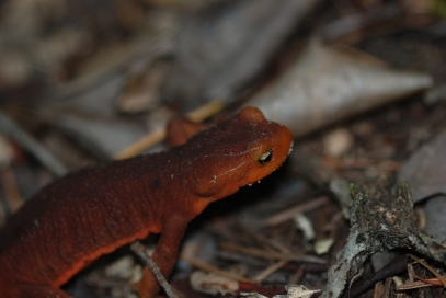 This California newt was one of many I saw on the trail. Their skin produces a potent toxin, making it a dangerous meal for predators.