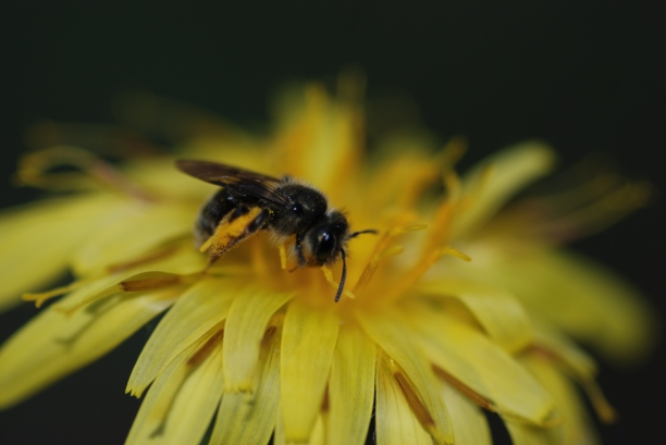 This native bee, most likely an andrenid bee, was too distracted to notice my presence.