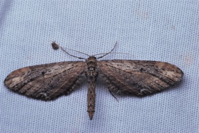 Eupithecia subapicata. Notice how they hold their wings when at rest.