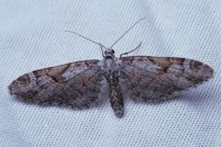 Eupithecia subapicata. A different color variant from the others on the sheet.