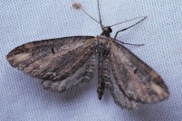 Eupithecia subapicata. One with its wings open instead.