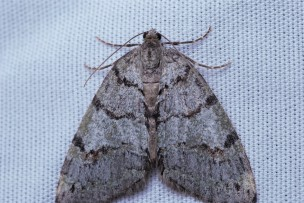 Hydriomena albifasciata. One of the many different variants that ended up coming to the sheet.