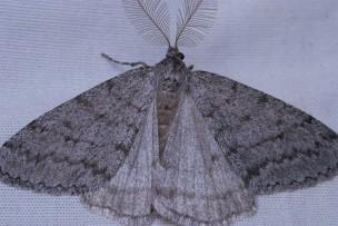 Phyllodesma americana