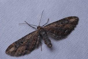 Eupithecia subapicata. A dark form that also came to the sheet.