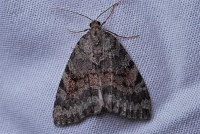 Hydriomena albifasciata