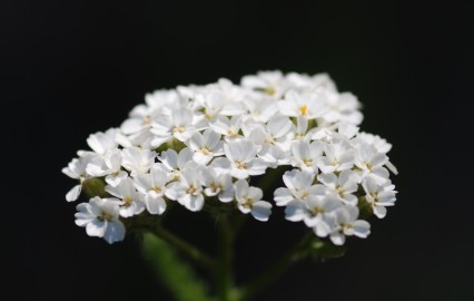 The white yarrow flowers were a nice contrast to the dull brown and green grasses they were surrounded by.