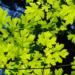 A look up into the broadleaf maple tree.