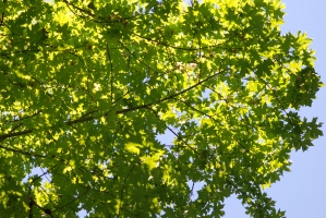 """There was one final large broadleaf maple before entering the """"chaparral zone"""" of the trail."""