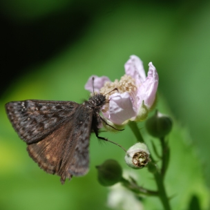 This skipper was very contmept with the nectar from this flower.