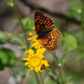 These asters were frequently visited by butterflies of many different species.