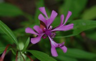 This Clarkia was the only one I found blooming on this trek to the falls.