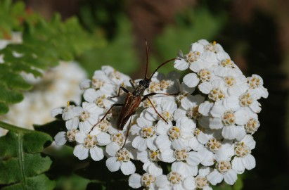 A small cerembycid was hanging out on the yarrow near the falls.