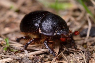 Second Geotrupid beetle from a different angle.