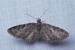 Quite a few smaller moths came to the sheet and tended to be the most common.