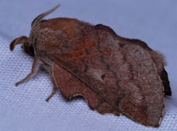 """These moths seldom had their wings open and tended to prefer holding them in the """"tent"""" form."""