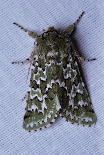 Feralia februalis, darker olive green color form.