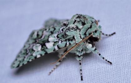 Feralia februalis, pale turquoise color form.