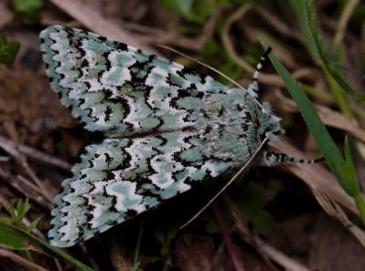 A full view of the amazing pattern februalis has on its wings.