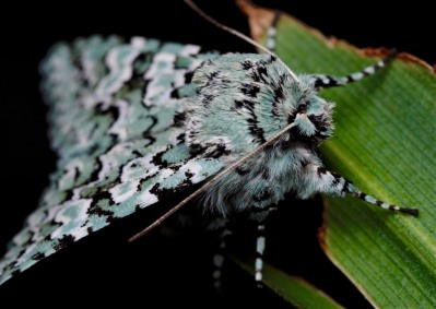 """A closer view of the """"fluffy"""" aspect of these wonderful moths."""