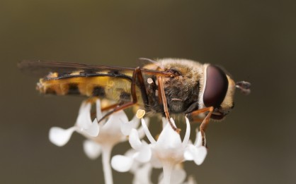 One of the many hover flies (Syrphidae) visitng these flowers.