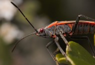 Another western boxelder bug, among many, found on and around the bush.