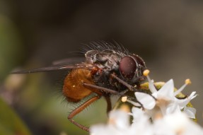 Tachinid flies were very skiddish when approached.