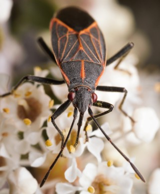 The western boxelder bugs also fed on the nectar the flowers were offering.