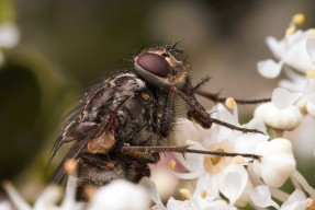 Other flies like this Muscid were also attracted to the ceanothus flowers.