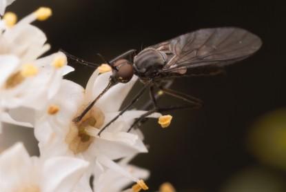 Dance fly (Empididae) taking advantage of the abundant nectar source.