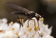 These flies were identified as belonging to the genus Empis but the species id was a little more difficult.