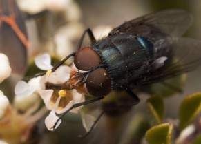 Calliphoridae, also known as blow flies, are commonly associated with carrion but will take nectar meals as well.