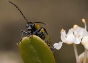 Peek-a-boo cucumber beetle!