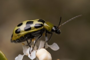 These beetles are fairly common and can be pests if in large enough numbers.