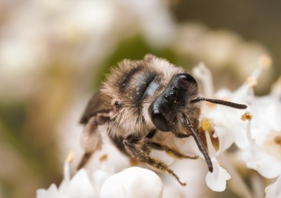 Andrenid bees also made an appearance on the ceanothus flowers.