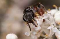 The genus Sphecodes are cuckoo bees, meaning that they have other species raise their offspring.