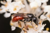"""This Sphecodes bee is also a sweat bee and is sometimes called a """"blood bee"""" because of the red abdomen."""
