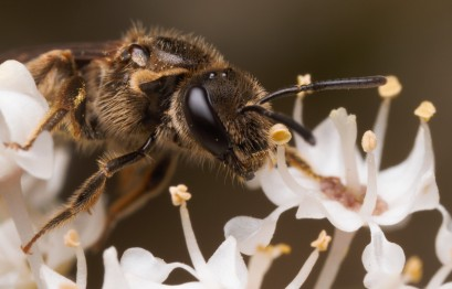 The sweat bees were everywhere around the bush and on the flowers collecting pollen and feeding on nectar.