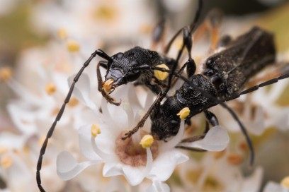 These bycids were later identified as Callimoxys fuscipennis.