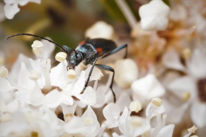 Grammoptera militaris, a nice blue cerembycid with red spots.