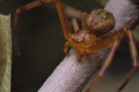 A male crab spider.