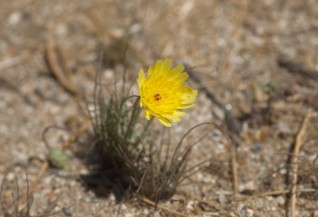 These small wildflowers were scattered along the trail into Palm Canyon.
