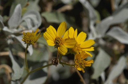 The brittle bush was blooming all over the canyon and near the campsite.