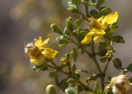 The creosote bush was also blooming up and down the canyon trail and campsites.