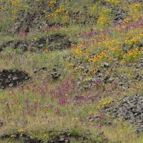 The mix of clover and poppy contrasted nicely on the dark rock underneath it.