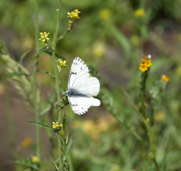 A species of checkered white I was unfamiliar with nectaring on fiddlenecks.