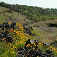 The poppies emerging from the rocks on the reserve was very cool to see.