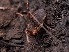 Opiliones, also called daddy longlegs, are not real spiders but instead are their own group of arachnid!