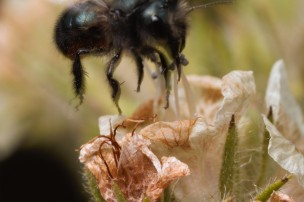 """Another """"taking off"""" shot of a Megachilid bee."""