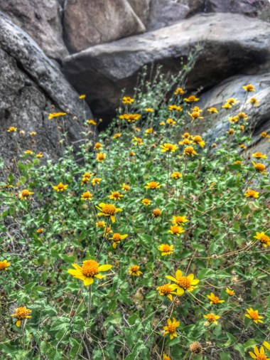 This sight of blooming brittle bush was a nice touch while hiking into the end of the canyon.