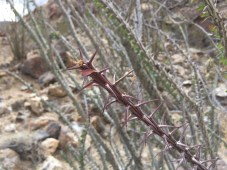 Thorns of the very tall ocotillo that were scattered along the trail.